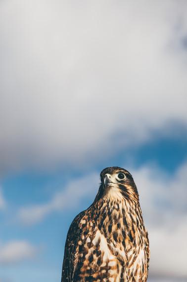 Falcon_Shoot_17.jpg