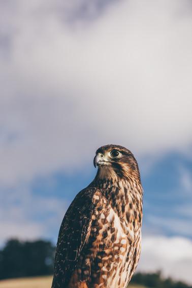 Falcon_Shoot_5.jpg