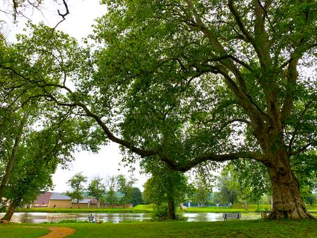"""Le """" platane Babaud """" un arbre tentaculaire exceptionnel au coeur du parc de la Chaussade"""