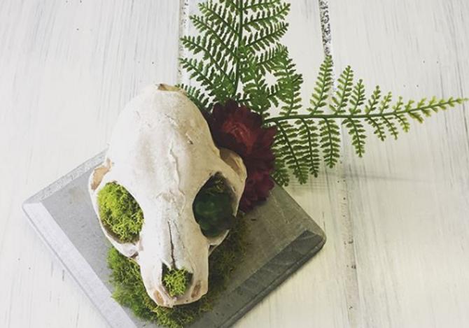 bobcat skull mount.PNG