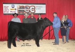 SB Omaha 413 NCC Champion Angus bull