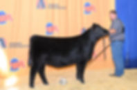 2019 Nebraska State Fair Champion Angus