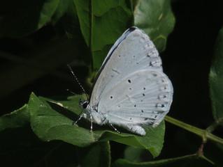 ルリシジミ(シジミチョウ科)