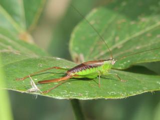コバネササキリ(キリギリス科)