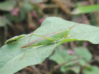 ウスイロササキリ(キリギリス科)