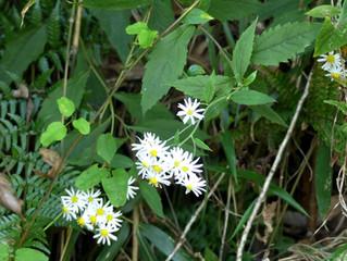 ケシロヨメナ