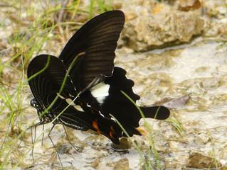 モンキアゲハ(アゲハチョウ科)