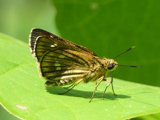 コチャバネセセリ(セセリチョウ科)