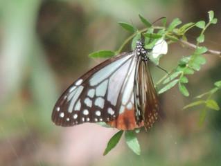 アサギマダラ(タテハチョウ科)