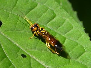 ウスモンヒラタハバチ