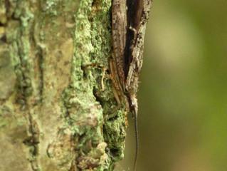 ツマグロトビケラ