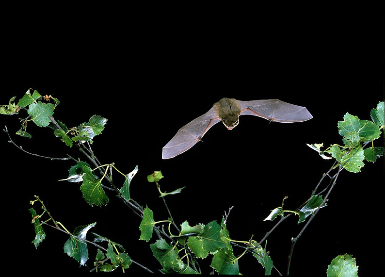 Common pipistrelle - Hugh Clark.jpg