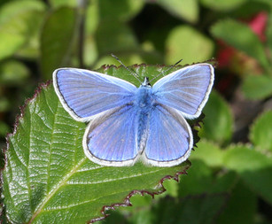 Common Blue, andrew's wood.jpg