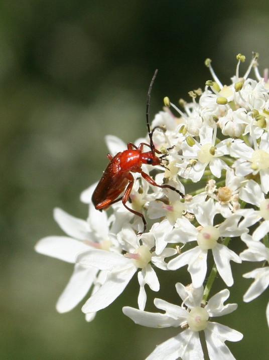 Soldier Beetle.jpg