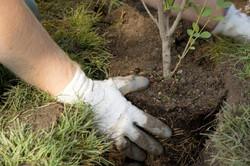 Plantation d'arbustes