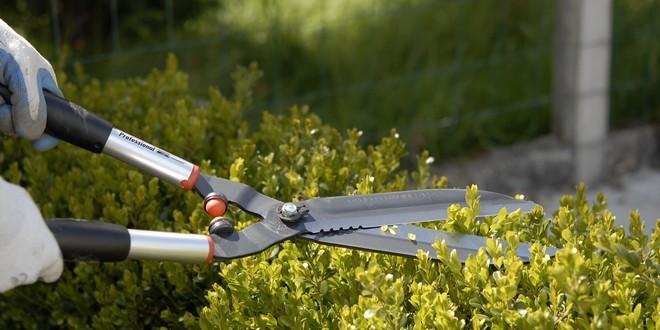 Taille d'arbustes d'ornement