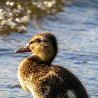 Ducks - Balmaha, Loch Lomond