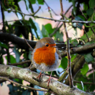 Angels are near when Robins Appear