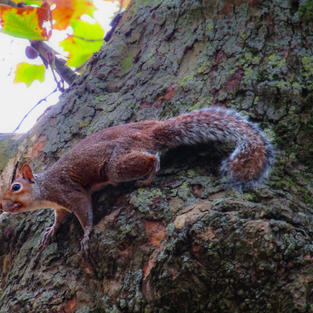 Red Squirrel - Hyde Park, London