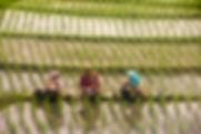 rijstoogst Indonesië