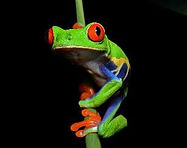kikker Costa Rica.jpg