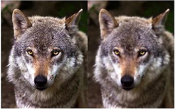 זאב.jpg