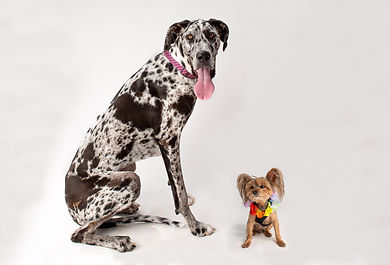 GREAT_DANE_2_DSC_2410-2.jpg