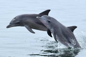Playful dolphins frolic in Albay Gulf