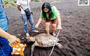 Green sea turtle found dead in Legazpi City