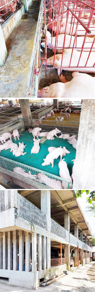 This commercial pig farm thrives, diversifies and levels up amidst ASF threat
