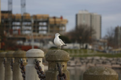 Seagull - MK Video Photo