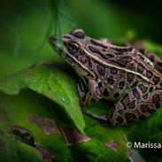Frog on leaf photograph