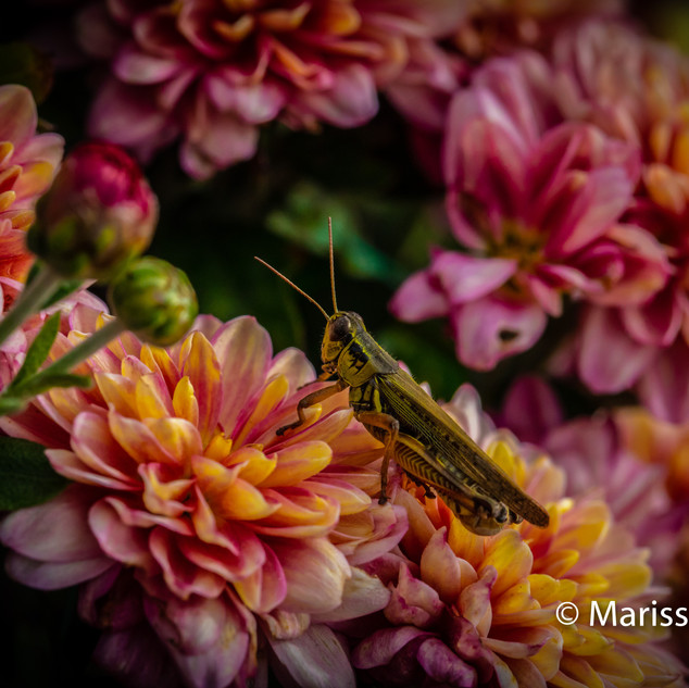 Cricket in flower photograph