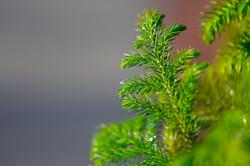 Pine - MK Video Photo