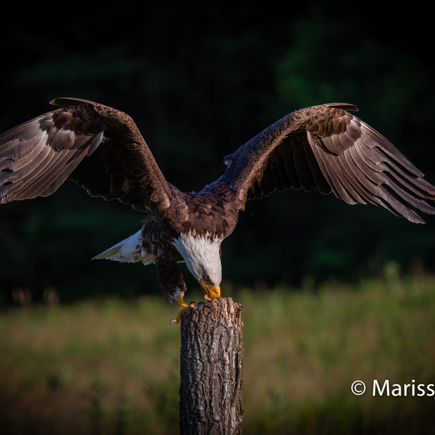 Eagle feeding 2