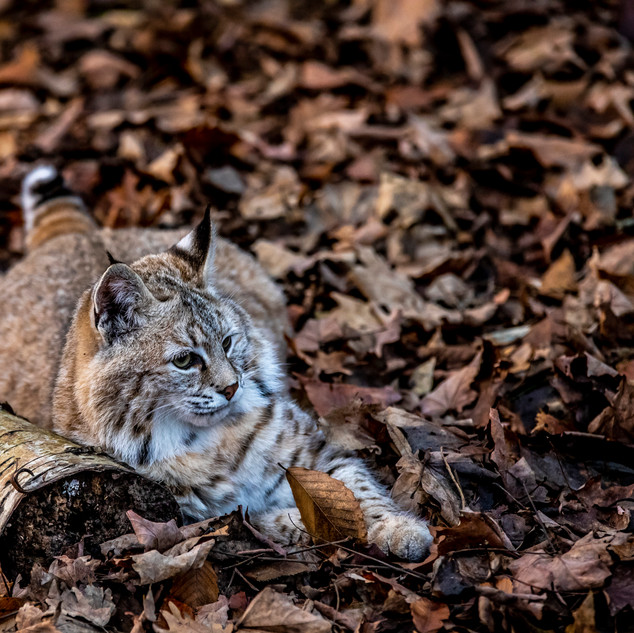 Bobcat in northern ontario