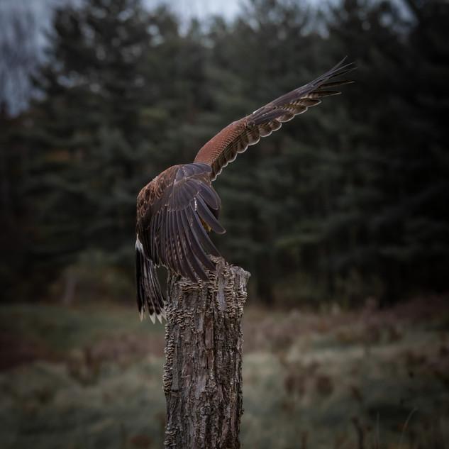 Hawk landing photograph