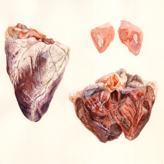 Illustration of a sheep heart