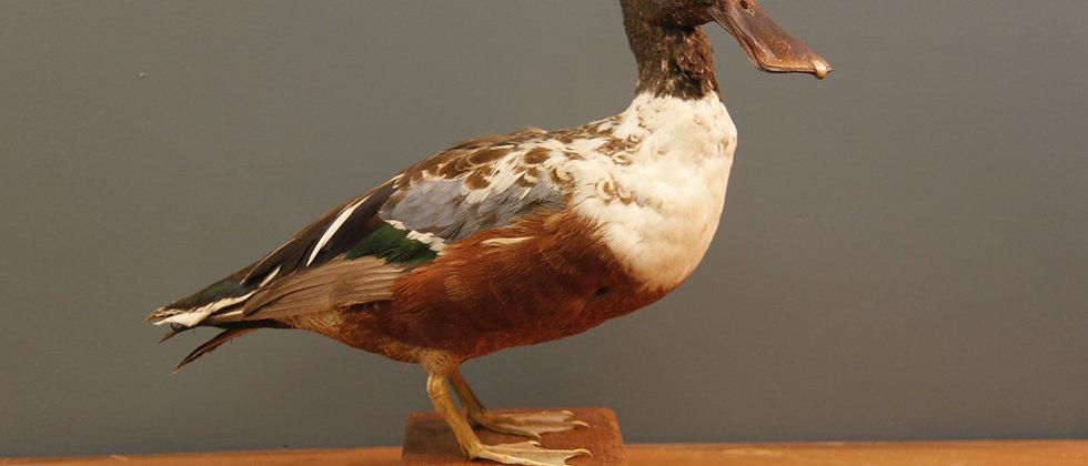 Taxidermy Northern Shoveler Duck