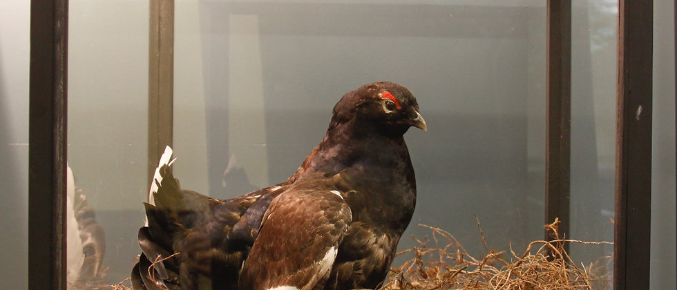 Taxidermy. One of the rarest British Black Grouse. Great Condition