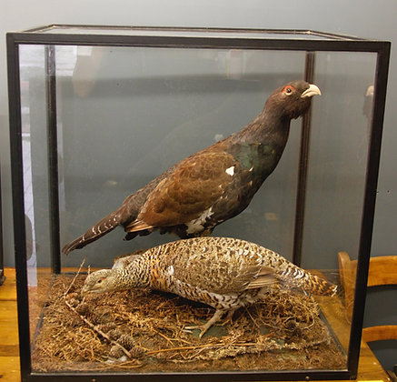 Taxidermy. Largest rarest of British Game Birds. Pair of Capercaillie.