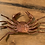 Thumbnail: A Pair of Copper Crabs!