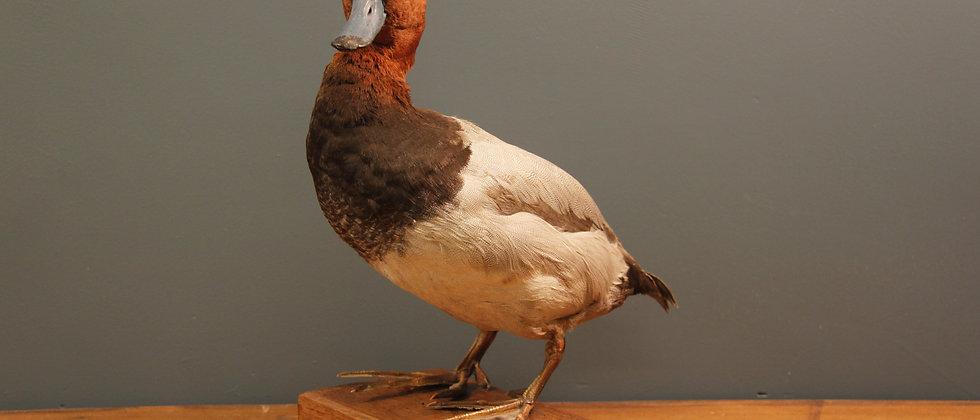 Taxidermy Common Pochard Duck