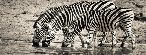 zebra-3044577_1280.jpg