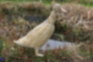 Indian running duck.JPG
