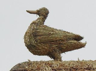 Adult Duck