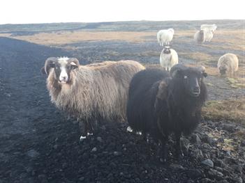Sheep!!!!