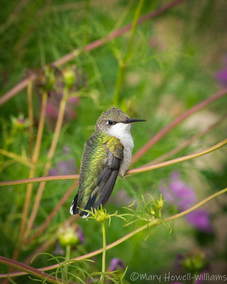 Hummingbird_7-18_DSC0022-8x10.jpg