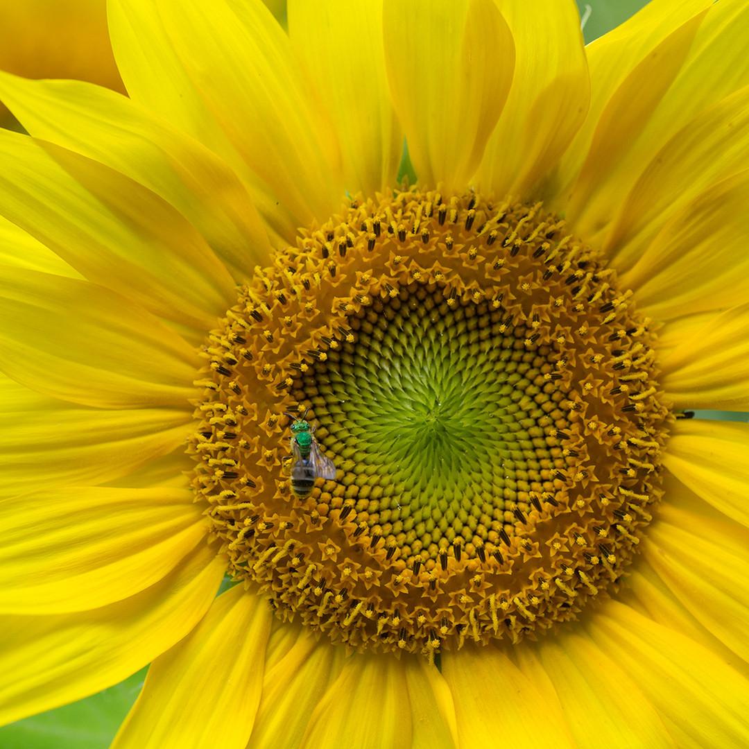 GreenBeeSunflower_06_18_45-4x4.jpg