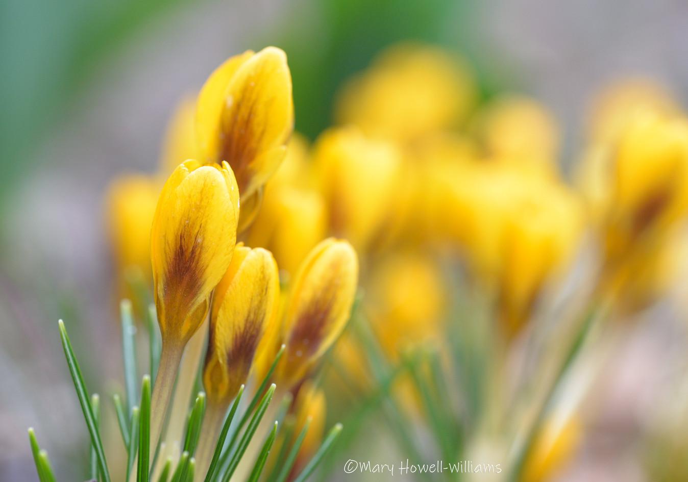GoldenCrocus-03_16_21.jpg